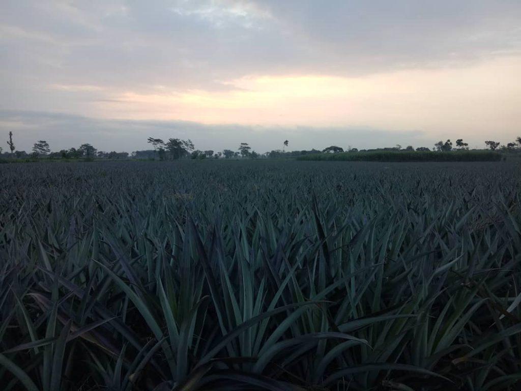 Agrowisata Nanas Basarang