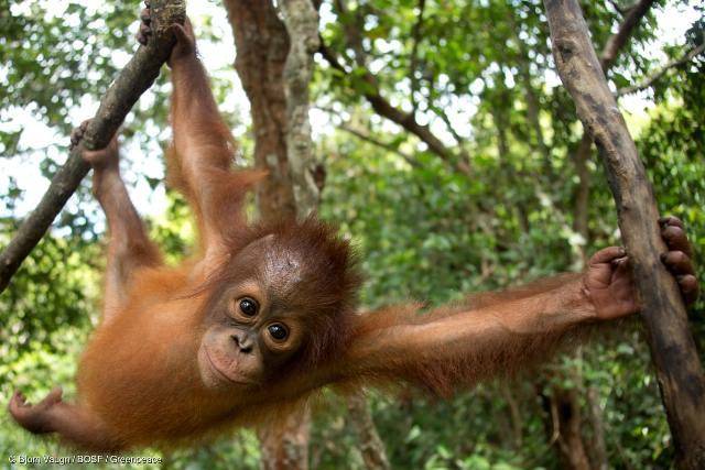 Penangkaran Orangutan Nyaru Menteng
